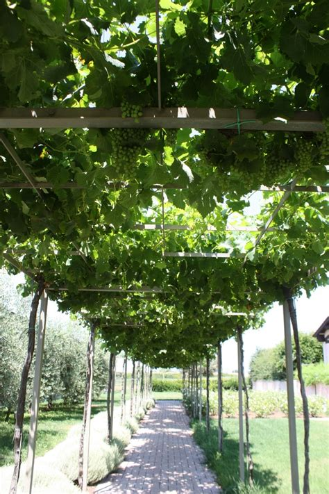 grape vine trellis garden ideas grape trellis photograph grapevine