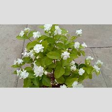 How To Grow Jasmine Plant In The Pot Youtube