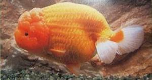 All About Aquarium Fish: Goldfish Varieties - Ranchu
