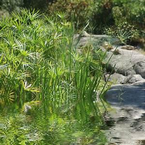 Plantes Et Jardin : papyrus cyperus alternifolius plantes et jardins ~ Melissatoandfro.com Idées de Décoration