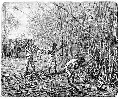 Slaves African Sugar Cane Illustration Slavery Processing