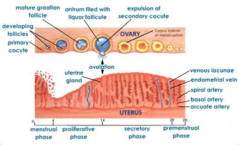 Uterine Wall Shedding Pregnancy by Cycle Process On Pinterest Rock Cycle Mitosis And