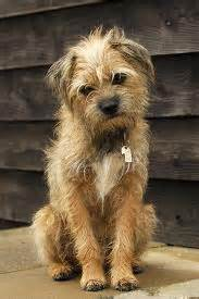 border terrier breed information and pictures on