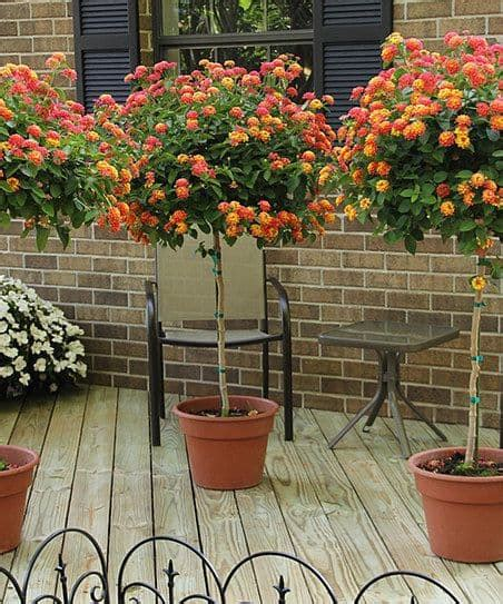 lantana bush care   grow lantana plant  trees guide