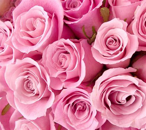 celebrity gossip pink rose