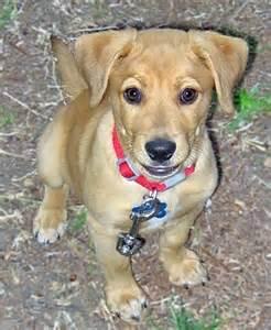 shar pei beagle mix puppies beagles