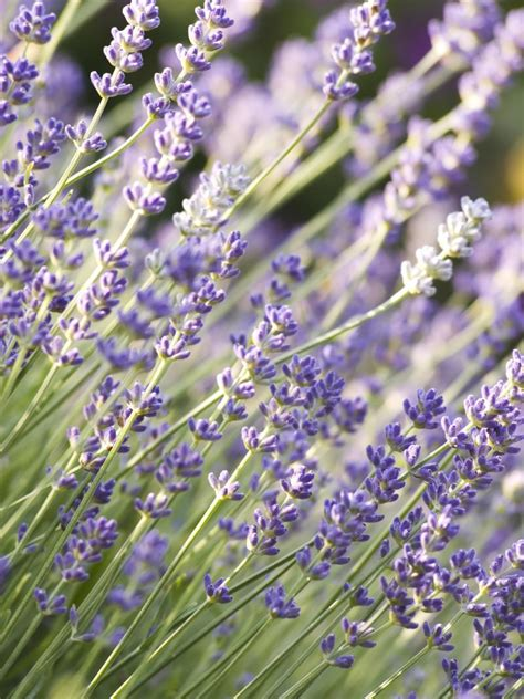 lavender plant height varieties of lavender for the garden diy