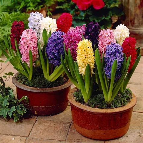 image gallery hyacinth plant
