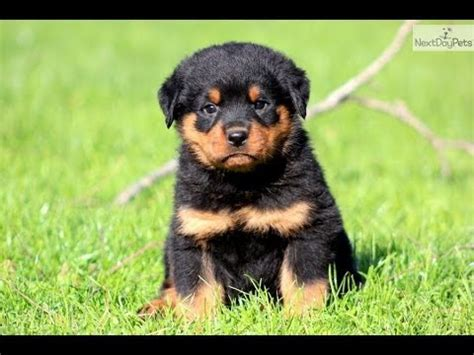rottweiler puppies dogs  sale  memphis tennessee
