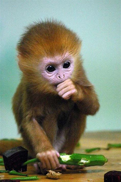 pet monkey 17 best images about jr s future pet on pinterest pets piglets and the cage
