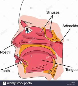 Structure Of Human Nose And Mouth Anatomy Illustration