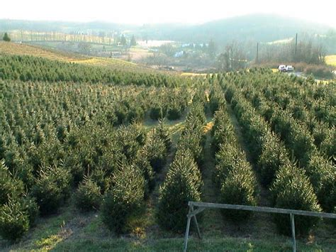 holiday tree farm