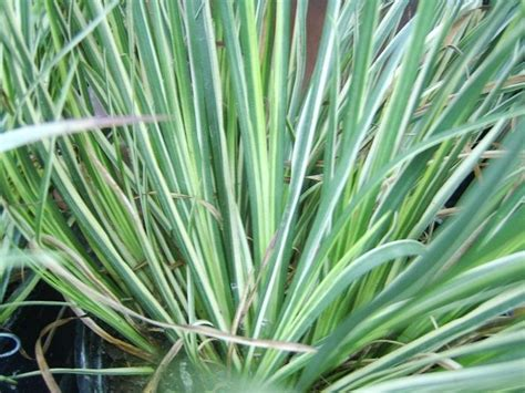 landscape grass types gardening landscaping choosing the right grasses for landscaping yard grasses ornamental