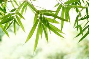 Wie Schnell Wächst Bambus : wie pflegt man bambus ~ Frokenaadalensverden.com Haus und Dekorationen
