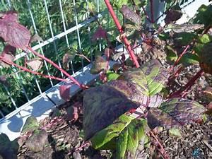 Pflanze Große Blätter : bl tter meiner pflanzen sterben mein sch ner garten forum ~ Avissmed.com Haus und Dekorationen