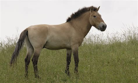 horse przewalski wild animals horses species asian zoo przewalskis hairy animal pony came conservation asia map tracking reintroduction mammals extinct