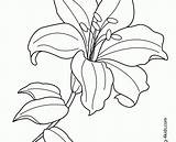 Lily Coloring Flower Pages Easter Water Line Drawing Printable Lilies Flowers Tiger Exotic Getdrawings Clipartmag Getcolorings Ideal sketch template