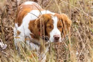 breed profile the american brittany gun dog magazine