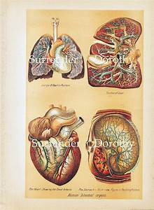 Diagram Of Human Organs