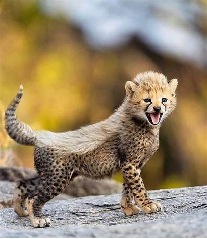 Adorable Cheetah Aww