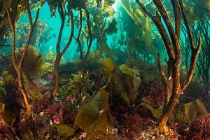 The Kelps Are Alright  Studies Reveal Resilience In Kelp Forests