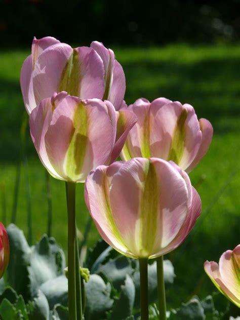 Blumenzwiebeln Einpflanzen Der Herbst Ist Die Richtige Zeit by Blumenzwiebel Pflanzen So Pflanzen Sie Fr 252 Hling