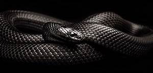 Reptile Facts - fortheloveofherpetology: Mexican Black ...