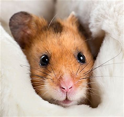 guinea pigs  pets breeds behavior sounds petsmart