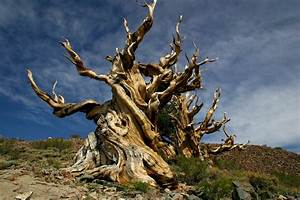 Say Hello to the Oldest Tree in the World [Gallery ...