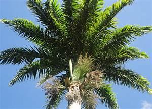 Palmier De Jardin : palmier de jardin comment entretenir un palmier palmier ~ Nature-et-papiers.com Idées de Décoration