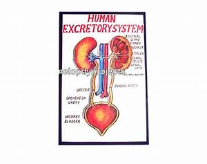 Excretory System With Lights Models At Rs 450   Piece S