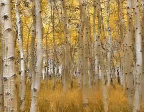New Mexico Aspen Trees