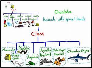 Chordata - Skeletal System  Phylum