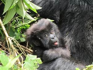 Rwanda39s Gorillas
