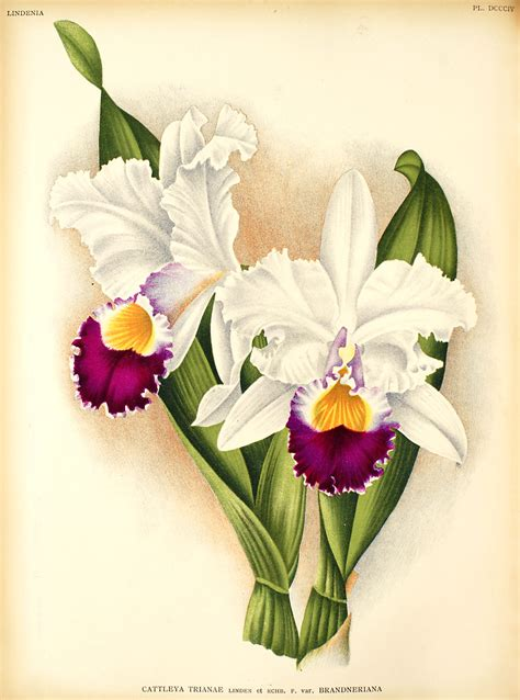 how to draw a cattleya flower cattleya orchid drawings www pixshark com images galleries with a bite