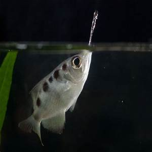 Archer Fish for sale and other Australian native fish