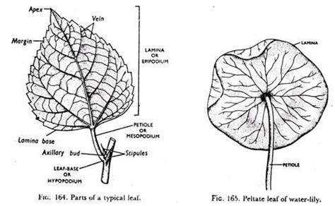 Leaf Part Diagram by The Foliage Leaf Development And Parts With Diagram