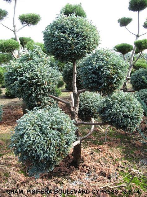 topiary trees live boulevard cypress pom pom topiary live topiary trees
