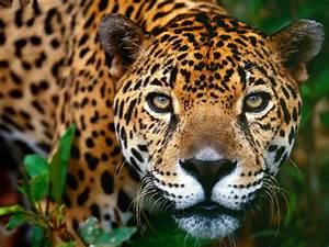 The Beauty Of The Jaguar