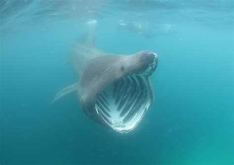 basking shark fishes