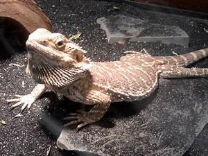 Bearded Dragon Lizard Cake Ideas and Designs
