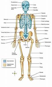 Human Anatomy Skeletal System Quiz