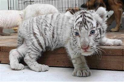 Tiger Cubs Lion Rare Cheetah Whatsapp 1463