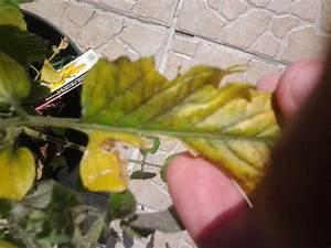 Feuille De Tomate : feuilles de tomates qui deviennent jaunes jardins du ~ Melissatoandfro.com Idées de Décoration