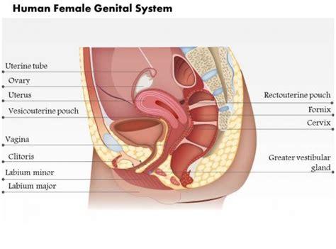 human female genital system medical images