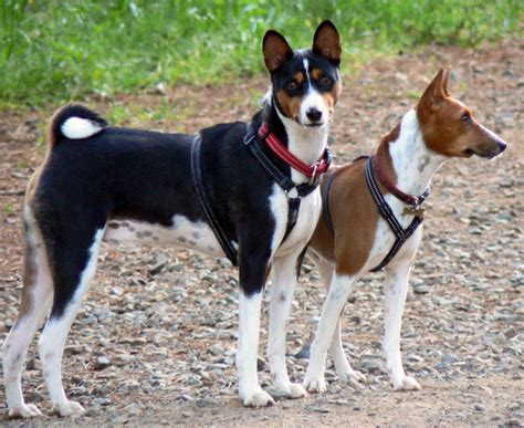 Basenji Shedding A Lot by 10 Dogs That Don T Shed Most Popular Non Shedding Dogs