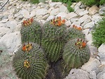 "Tucson Daily Happenings: ""The Barrel Cactus commonly ..."