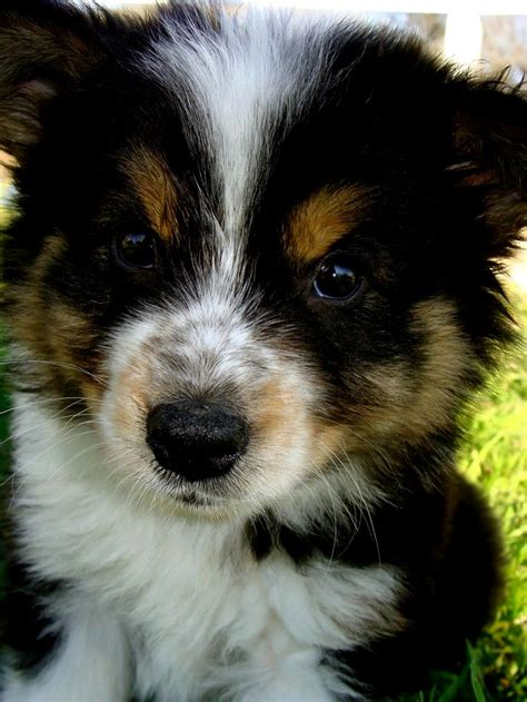 Best Australian Shepherd Mix Ideas And Images On Bing Find What