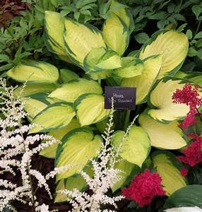 Photo Collection Gold Standard Hosta For
