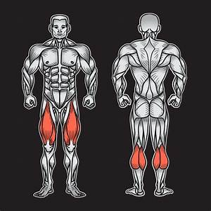 Vector  Muscular System Back